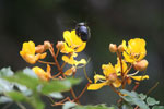 Giant black bumblebee flying towards a yellow flower