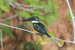 Amazon Kingfisher, Chloroceryle amazona [brazil_1224]