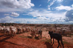 Herd of cattle in the Amazon