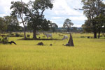 Greater Rhea (Rhea americana), cattle, and terminte mounds in the Pantanal