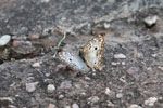 White and gray butterfly