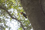 Lineated Woodpecker (Dryocopus lineatus)