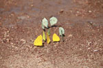 Yellow and light green butterflies [brazil_1517]