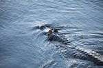 Black caiman swimming