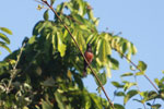 Chestnut-bellied Seed-finch (Oryzoborus angolensis)