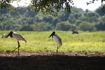 Pair of Jabiru stork [brazil_1699]