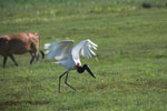 Jabiru stork taking flight
