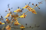 Yellow and maroon orchid