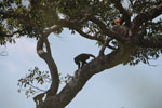Black-and-gold howler monkey (Alouatta caraya)