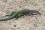 Multocolored Amazon race runner (Ameiva ameiva)
