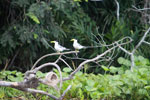 Large-billed Terns (Phaetusa simplex)