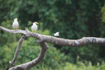 Large-billed Terns (Phaetusa simplex) and a Yellow-billed Tern (Sterna superciliaris)
