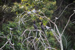 Neotropical cormorants, large and small-billed terns