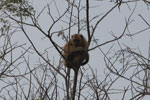 Solitary golden black howler monkey (female)
