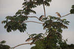 Black-crowned Night Herons (Nycticorax nycticorax) [brazil_1884]