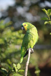 Blue-fronted Amazon Parrot (Amazona aestiva)