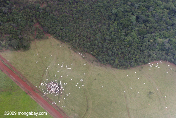 Aerial view of grazing cattle in newly-cleared Amazon in Brazil. Photo by: Rhett A. Butler.