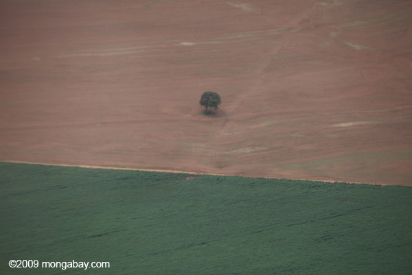 Solitary tree in the middle of a soy field