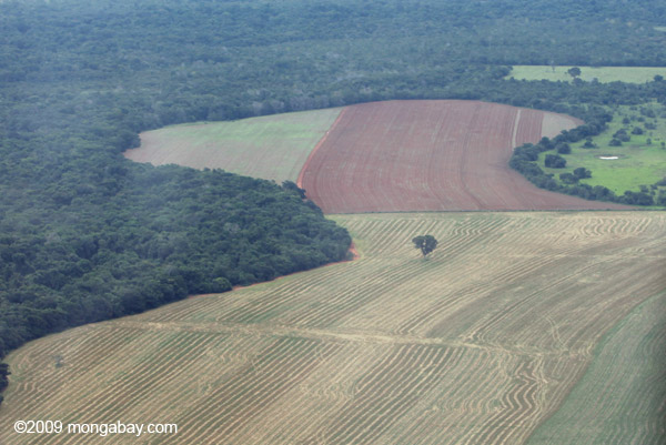 Remnant Brazil nut tree in a landscape cleared for soy fields.