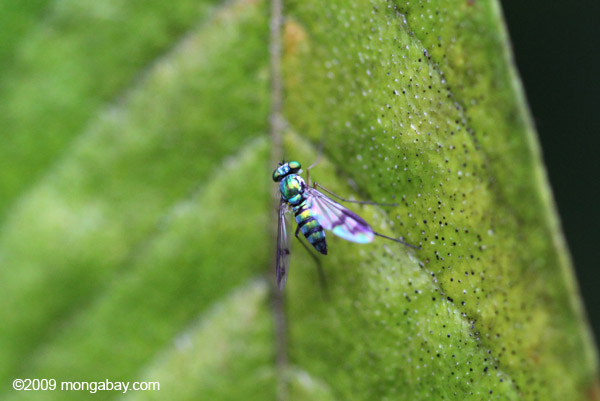 Metallic green fly [Long-legged Fly, family Dolichopodidae]