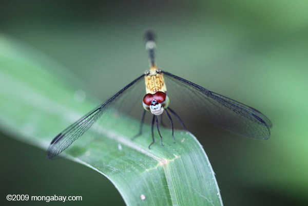 Red-eyed skimmer (family Libellulidae)
