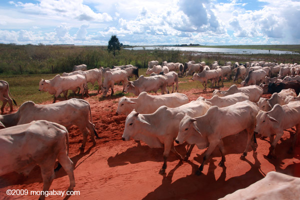 Herd of cattle in what once was the Brazilian Amazon. Photo by: Rhett A. Butler.