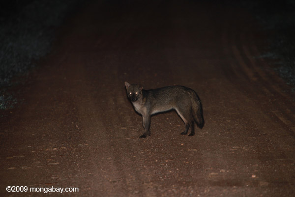 Common Fox (Cerdocyon thous)