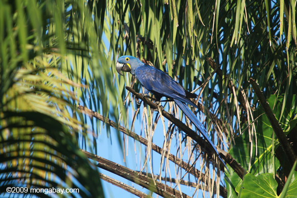 Hyacinth macaw in Brazil. Photo by: Rhett A. Butler.