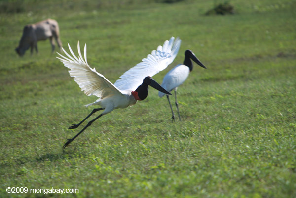 Photo: jabiru stork takes off