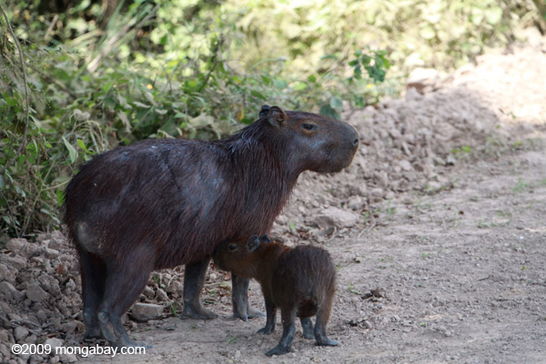 Mother capybara with baby