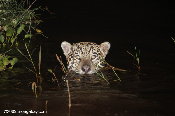 Jaguar in Brazil. A new study finds that apex predators, like the jaguar, are some of the most sensitive to environmental degradation both inside and outside tropical forest parks. Photo by: Rhett A. Butler.