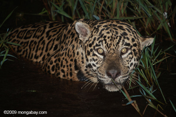 Jaguar in Brazil. Photo by: Rhett A. Butler.