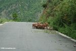 Pigs feeding on a road in China