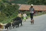 Father walking with children and pigs on a road in the Mekong valley