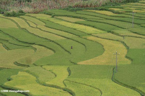 Man in a rice field in China. Photo by: Rhett A. Butler.