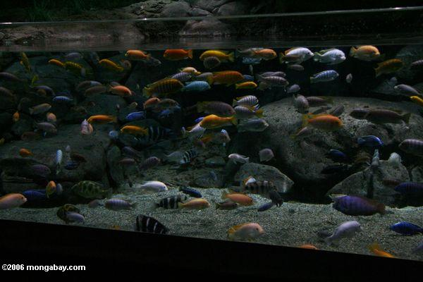 lake malawi mbuna cichlids - group picture, image by tag ...