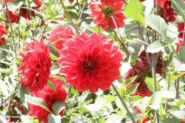 Rote Blume in Datong