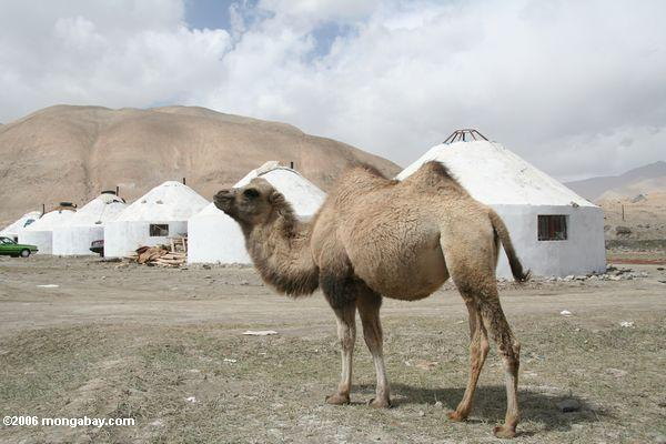 Camel standing in front of concrete yurts built bt the Chinese government