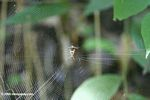 Nephila orb spider in Tayrona national park