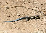 Blue-tailed skink in Tayrona