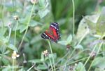 Red, black, brown, and white butterfly