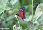 Red, black, brown, and white butterfly [co01-9097]
