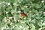Red, black, and brown butterfly with white spots