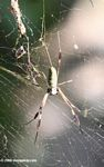 Nephila spider in the Colombia Andes