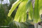 Caryota mitis  (fish tail palm)