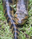 Close up of the Green anaconda (Eunectes murinus), the world's longest snake