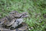 Boa constrictor in 'strike' position