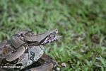 Boa constrictor in defensive mode [co02-0102]