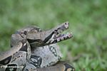 Boa constrictor in defensive mode