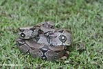 Boa constrictor in defensive mode [co02-0109]